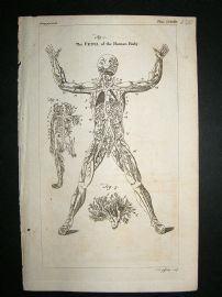 Anatomy:1755 Veins Of Human Body, Print.
